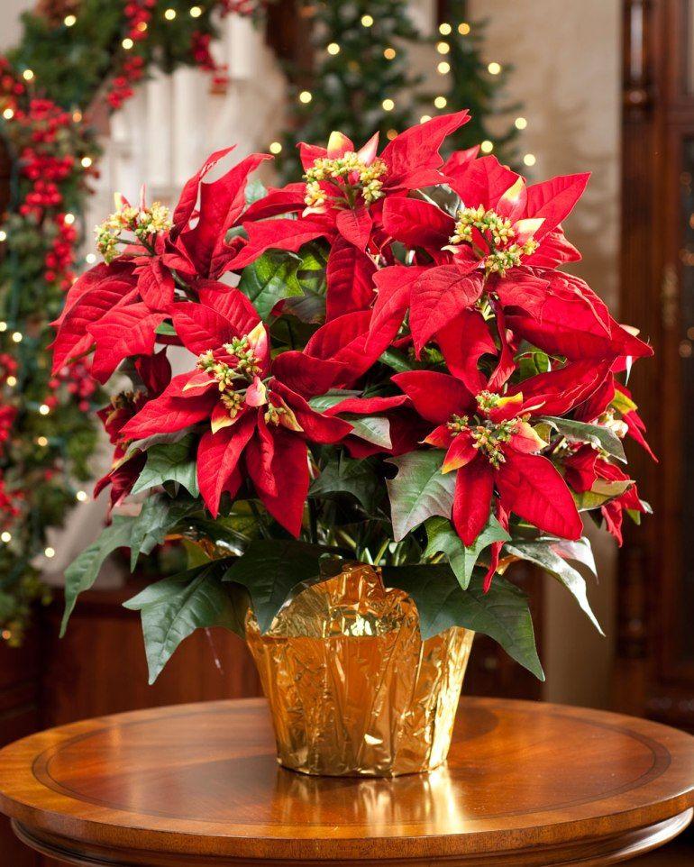 ¸ poinsettia christmas